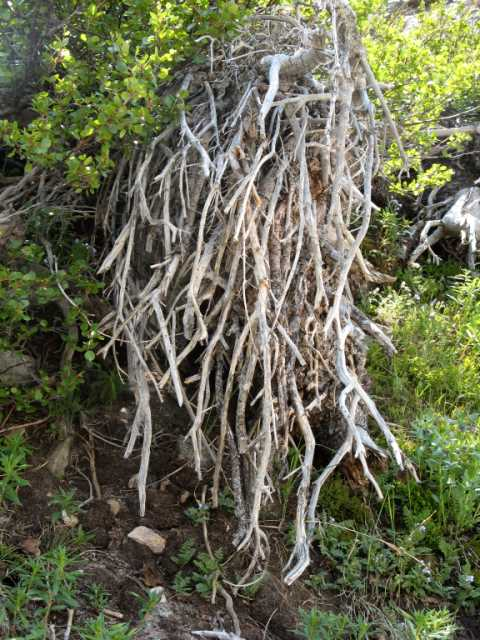 Life � Tree Roots by pzel