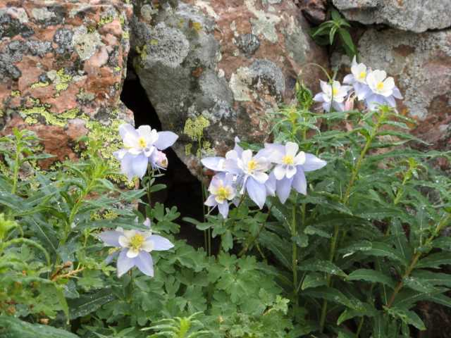 Columbines (Photo by Kit Dunsmore)