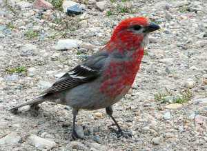 A pine grosbeak that hung out with us in the parking lot. (Photo by Dana Geary)
