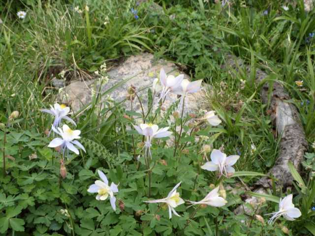 One of many clusters of columbine