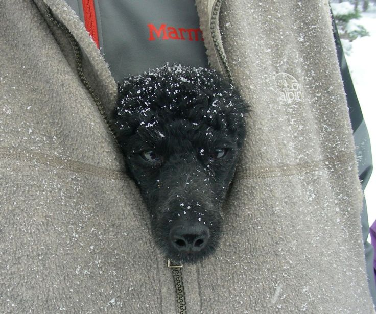 Face of miniature black poodle sticking out of a man's vest with snow flakes on both. Photo by Kit Dunsmore