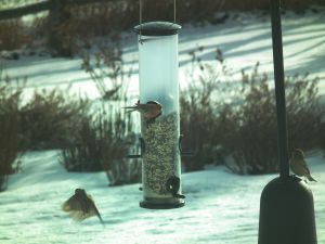 House finches are one of the most common birds at our  feeder.  Photo by Kurt Fristrup