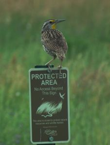 Western Meadowlark, feeling safe.