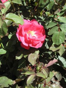 The roses always look better after pruning.
