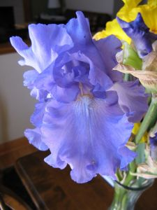 One of the irises I took to class with me.