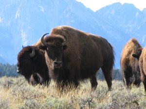 Bison are big. And scary. photo by Kit Dunsmore