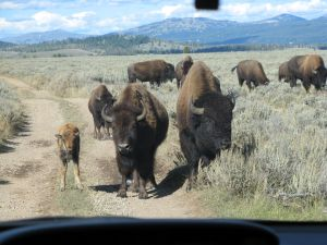 Papa Bison, Mommy Bison, and Baby Bison were all in our way!
