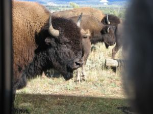 Bison through the car window. They got really close to the car.