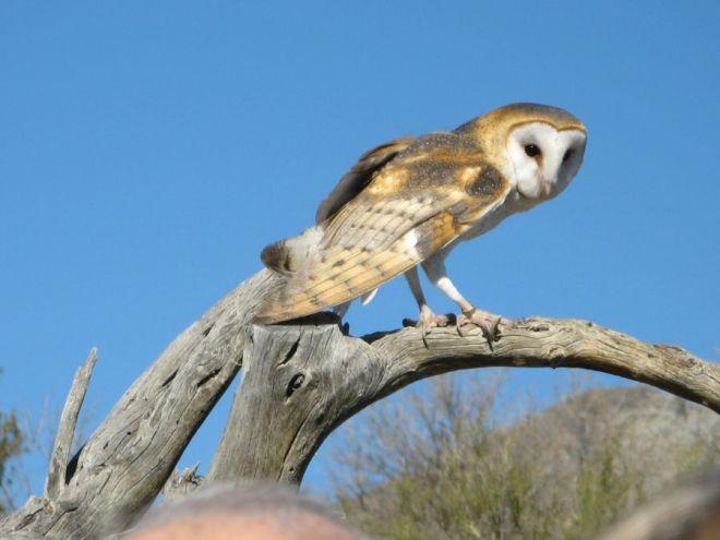 A barn owl perching during a Raptor Free Flight.