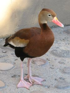 Black-bellied whistling duck, photo by Kit Dunsmore