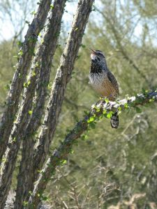 Singing cactus wren, photo by Kit Dunsmore