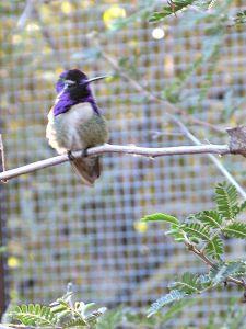 A Costa's hummingbird, fuzzy photo by Kit Dunsmore