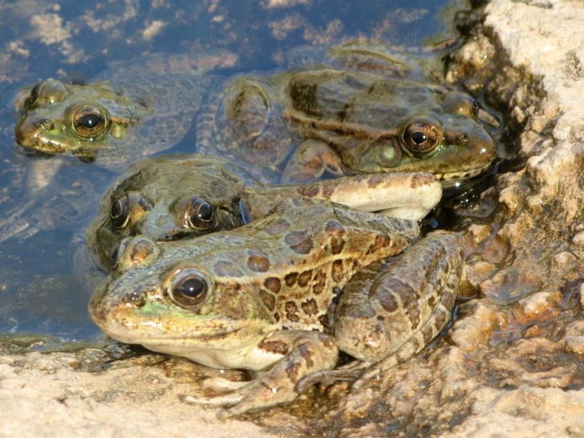 Frogs (I forgot to write down the species!), photo by Kit Dunsmore