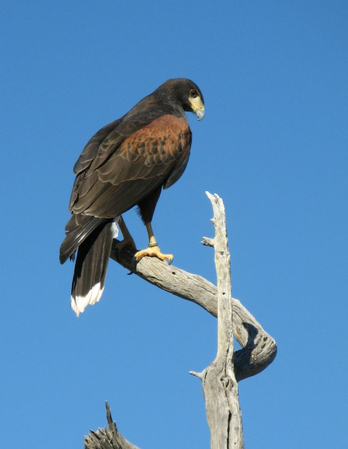 One of the four Harris's hawks that came out for the Free Flight.