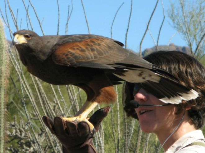 A Harris's hawk with a trainer, free to come and go as she pleases.