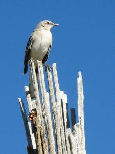 Mockingbird, photo by Kit Dunsmore