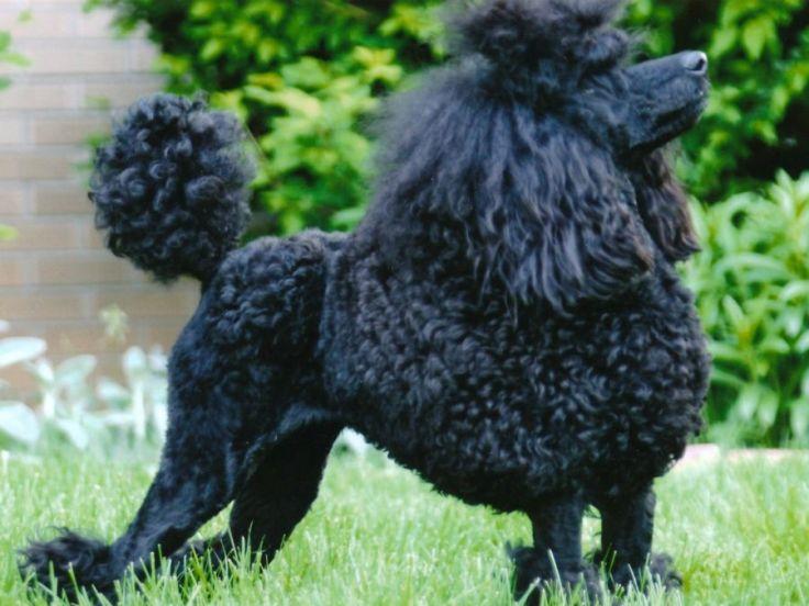 Black miniature show poodle