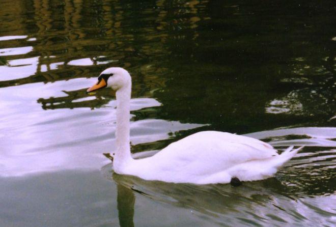 A swan in the Stuttgart city park.