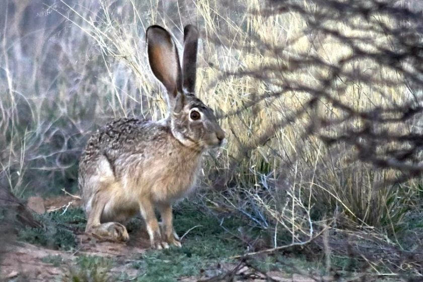 blacktailed_jackrabbit_web