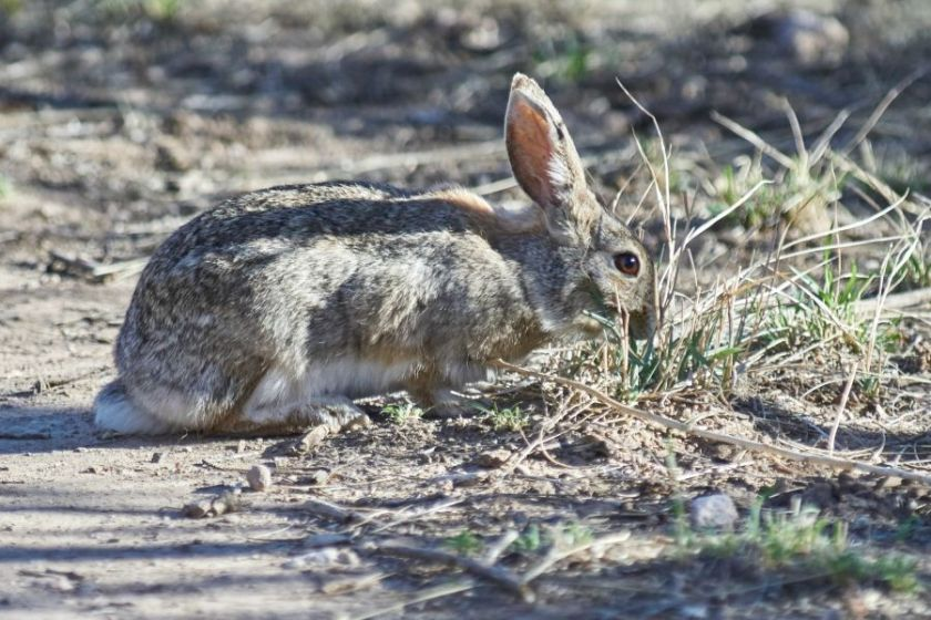 desert_cottontail_02_web